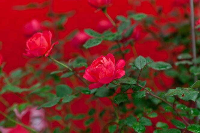 虹越引进月季新品种,深圳红 长什么样子
