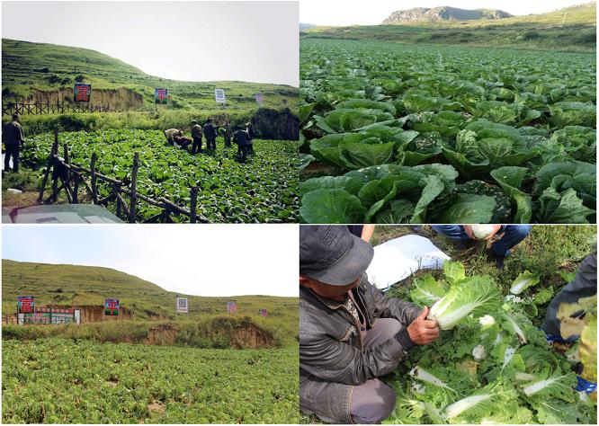 乡土可期,用消费支持扶贫--蔚县大白菜生态种植转化之路